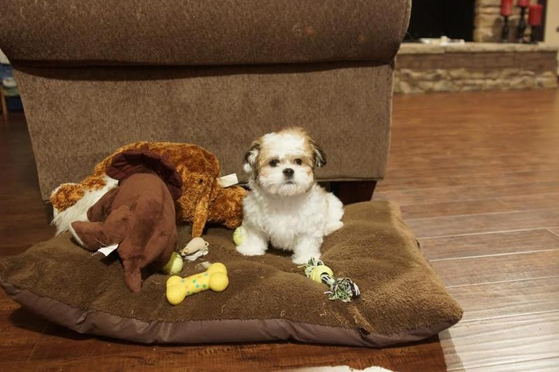 Cooper is a Teddy Bear / Shichon - he belongs to our grandson, Haedden. He has a great life with all of them.