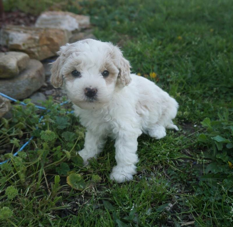 Bichapoo puppy